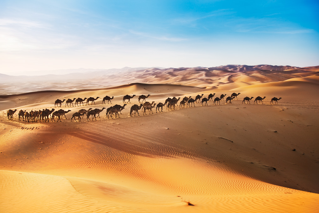 Camel safari in the desert of Abu Dhabi