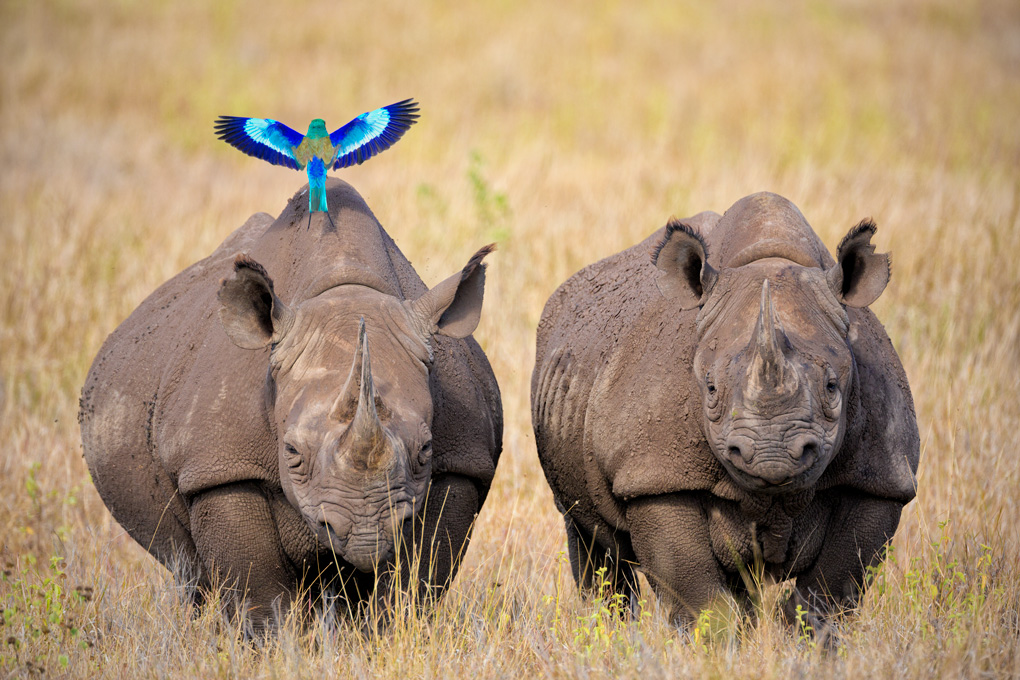 Black Rhinoceros and a lilac-breasted roller
